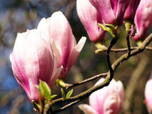 Blühendes Magnolie soulangeana Stockfoto