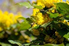 Blühendes Mahonia aquifolium Mahonia ist die Spezies der blühender Pflanze im Familie Berberidaceae, gebürtig nach West-Nordameri stockfoto
