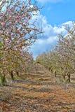 Blühendes Mandelbäume in der Landschaft lizenzfreies stockfoto