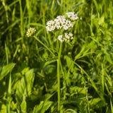 Blühendes millefolium der gemeinen Schafgarbe, Achillea, Blütentraubeblütentraube und Blätter auf Stamm mit bokeh Hintergrundmakr Lizenzfreies Stockfoto