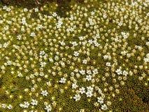 Blühendes Moos lizenzfreies stockbild