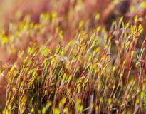 Blühendes Moos im Stein im Frühjahr Lizenzfreies Stockbild