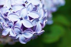 Blühendes nahes hohes der Flieder Unscharfer Hintergrund Lizenzfreie Stockfotos