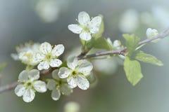 Blühendes Obstbaummakro Pflaume blüht Nahaufnahme im Garten am sonnigen Tag Stockbilder