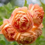 Blühendes orange Englisch stieg in den Garten an einem sonnigen Tag Rosen-` Dame von Shalott-` lizenzfreies stockfoto