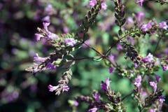 Blühendes Oregano Stockbilder