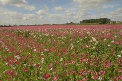 Blühendes Papaver-Feld Stockfotos