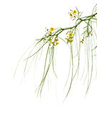 Blühendes Parkinsonia aculeata Stockbild