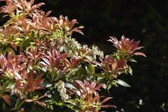 Blühendes Pieris japonica stockbilder