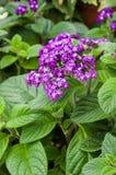 Blühendes Purpur der heliotropischen Blume lizenzfreies stockfoto