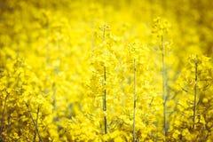 Blühendes Rapsfeld Stockbild
