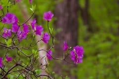 Blühendes Rhododendron daur Stockfoto