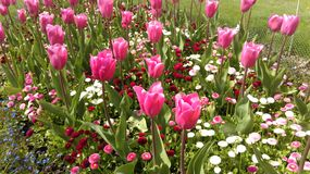 Blühendes Rosa Stockfotos