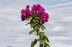 Blühendes rosa Bouganvilla Stockbild