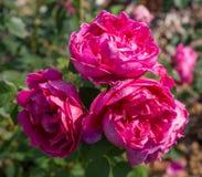 Blühendes rosa Englisch stieg in den Garten an einem sonnigen Tag Rose Lady von Megginch stockfotografie