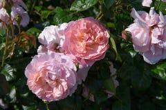 Blühendes rosa Englisch stieg in den Garten an einem sonnigen Tag Rose Strawberry Hill lizenzfreies stockbild
