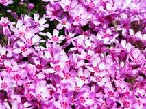 Blühendes rosa Flammenblume subulata - Moosflammenblume Stockfotos