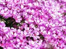 Blühendes rosa Flammenblume subulata - Moosflammenblume Lizenzfreie Stockfotografie