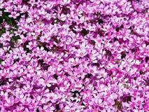Blühendes rosa Flammenblume subulata - Moosflammenblume Lizenzfreie Stockbilder