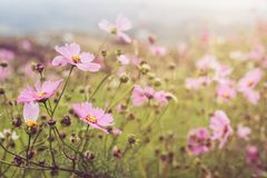 Blühendes rosa Kosmosfeld auf dem Berg lizenzfreies stockfoto