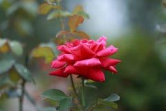 Blühendes Rosa stieg Stockfotos