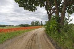 Blühendes rotes Feld der Weise nahe Stockbild