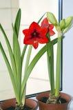 Blühendes rotes hippeastrum auf Fensterbrett lizenzfreie stockfotos