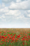 Blühendes rotes Mohnblumefeld Stockfotos
