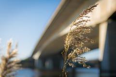 Blühendes Schilf vor einer Betonbrücke lizenzfreies stockfoto