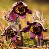 Blühendes Schlafgras des Frühlinges Stockfotos