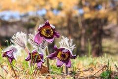 Blühendes Schlafgras des Frühlinges Stockfotografie