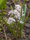 Blühendes Scilla im Vorfrühling Lizenzfreie Stockfotos