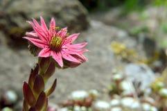 Blühendes Spinnennetz Houseleek Stockbild