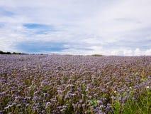 Blühendes Spitzen- phacelia Feld Lizenzfreie Stockfotografie