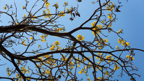 Blühendes Tabebuia-aurea Lizenzfreie Stockbilder