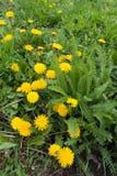 Blühendes Taraxacum officinale und grüne Blätter von Achillea-millefolium Stockbilder