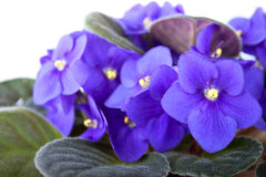 Blühendes Veilchen auf dem weißen Hintergrund stockfotografie