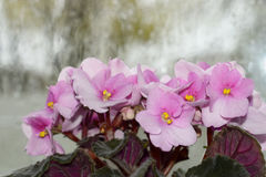 Blühendes Veilchen mit einem Regen Lizenzfreies Stockfoto