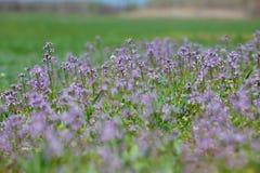 Blühendes violettes Feld Stockfoto