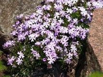 Blühendes violettes Flammenblume subulata - Moosflammenblume Stockfoto