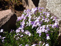 Blühendes violettes Flammenblume subulata - Moosflammenblume Stockfotografie