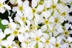 Blühendes Vogelkirscheprunus padus auf dem weichen Sonnenlicht Blumenvogel-Kirschbaumnahaufnahme Makrofotoblühen hagberry lizenzfreies stockfoto