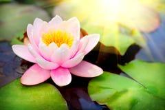 Blühendes waterlilly schwimmen Stockbilder
