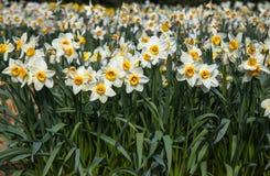 Blühendes weißes Narzissenfeld Lizenzfreies Stockbild