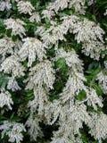 Blühendes weißes Pieris japonica im Frühjahr lizenzfreie stockfotos