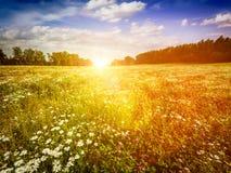 Blühendes Wiesenfeld des Sommers Lizenzfreies Stockfoto