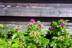 Blühendes wildes stieg auf einen Hintergrund des Bretterzauns stockbilder