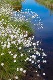 Blühendes Wollgras im Sumpf. Stockbild