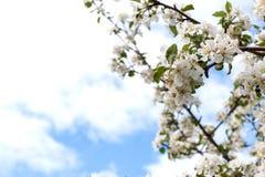 Blüht Apfelbaum stockfotos