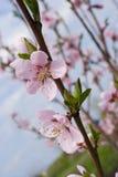 Blüht Aprikose Lizenzfreie Stockfotos